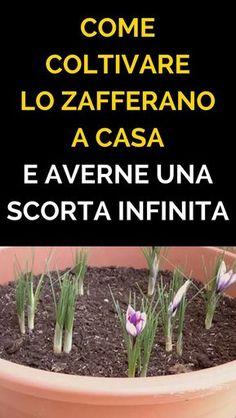 Come Coltivare Lo Zafferano a Casa e Averne Una SCORTA INFINITA