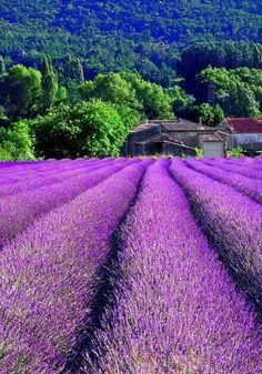 "flowersgardenlove: "" Campos de lavanda de Beautiful """