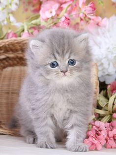 Persian Cat Doll Face, Teacup Persian Kittens, Teacup Kitten, Cute Baby Cats, Cute Cats And Kittens, Cute Baby Animals, Kittens Cutest, Pretty Cats, Beautiful Cats