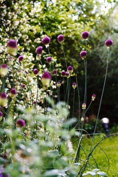 .I planted some of these small alliums this fall and I can't wait to see what they are going to look like next spring.