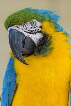 Posing parrot by Tambako the Jaguar on Flickr