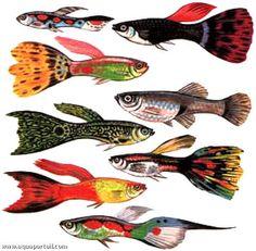 Diverses formes colorées de guppys