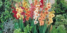 Gladiola, floarea gladiatorului, floarea victoriei | ȚĂRĂNCUȚA URBANĂ Victoria, Horsehair, Plant
