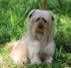 Meet Knoxx, an adopted Shih Tzu & Yorkshire Terrier Mix Dog, from EmBark in Madison, WI on Petfinder. Learn more about Knoxx today. Shih Tzu Mix, Terrier Mix Dogs, Lhasa Apso, Losing A Pet, Yorkshire Terrier, Beautiful Dogs, Animal Shelter, Rescue Dogs, Yorkie