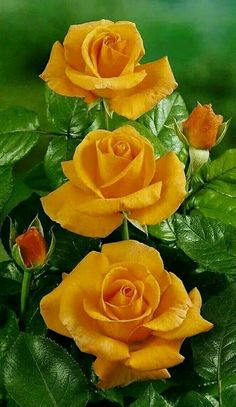 Growing Roses - 5 Top Mistakes to Avoid