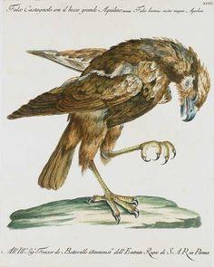 S.Manetti, Ornithologia methodice digesta, Storia naturale degli uccelli, Florenz 1765-76.