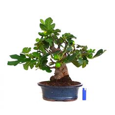 fig carica bonsai | Ficus Carica BONSAI