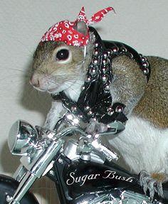 Sugar Bush Squirrel... Biker www.SugarBushSquirrel.com