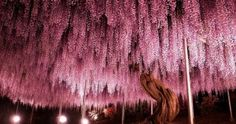 Funny pictures about This Wisteria In Japan Looks Like A Pink Sky. Oh, and cool pics about This Wisteria In Japan Looks Like A Pink Sky. Also, This Wisteria In Japan Looks Like A Pink Sky photos.