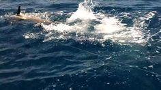 Jonke Brothers black marlin at the leader #panamafishingreports