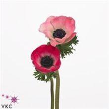 Anemone marianne pink