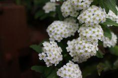 https://flic.kr/p/T1Beoi | Reeve's spiraea | in our garden
