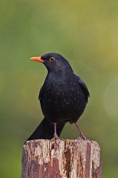 Eurasian Blackbird by Ivan Ellison