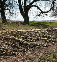 Laying hedges