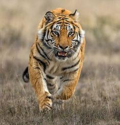 Superb Nature - beautiful-wildlife: Approaching by Alex Kirichko Pretty Cats, Beautiful Cats, Animals Beautiful, Big Cats, Cool Cats, Cats And Kittens, Mundo Animal, My Animal, Animals And Pets