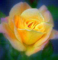 Joseph's Coat Rose by Nate A, via 500px
