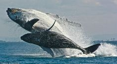 A mother humpback whale and her calf breach. This reminds me of when I was encouraging my son to jump in the lake. I see this mama encouraging her calf to jump into the air. Orcas, Whale Facts, Water Animals, Ocean Creatures, Humpback Whale, Killer Whales, Ocean Life, Marine Life, Under The Sea