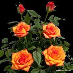 1000 images about polyantha miniature roses on. Black Bedroom Furniture Sets. Home Design Ideas