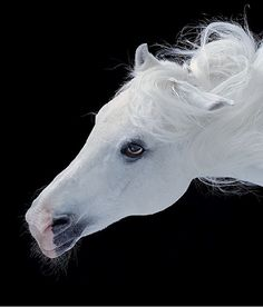Stunning White Horse :: British photographer Tim Flach