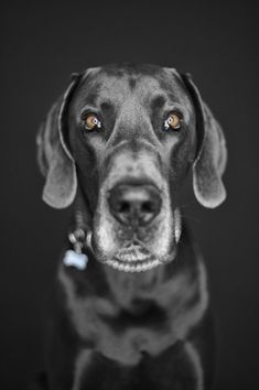 Beautiful photography of a #Great #Dane