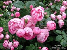 the PERFECT type of rose: Raubritter (in a lighter shade of pink- or white!)