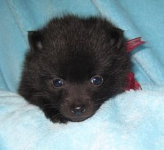 Schipperke Pup   Yes please!