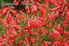 Otra imagen de las flores de la planta Lágrimas de Cupido, Russelia equisetiformis