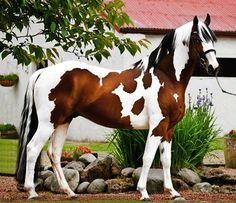 Tricolor spotted Dutch warmblood sport horse stallion standing in Scotland.