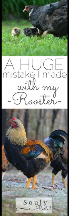 Lots of great advice and chicken reproduction info--->