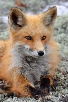 Red Fox by sharon.paris1f  - Sharon Paris