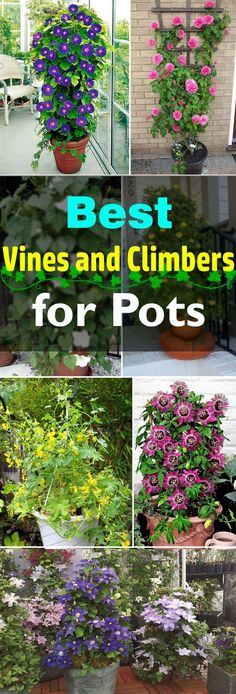 Add a vertical touch in your container garden by growing climbing plants for containers. Must see these 24 best vines for pots. #containergardening #gardenvinesbackyards