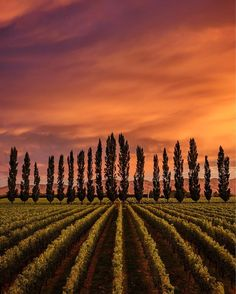 Crazy sunset over the Blenheim vineyard. That evening the clouds were low and unpromising but a sudden clearing on the horizon allowed the sun to perfectly lit the vines and the clouds. Perfect for some red clipping! . . . . . . .