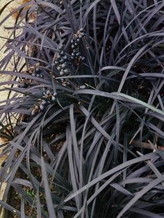 "Ophiopogon planiscapus Nigrescens Black Mondo Grass Deepest purple on grass-like blades 6""-8"" zones 5-9 good in containers and/orpaired w silver or gold companions bluish white flowers followed by purple berries"