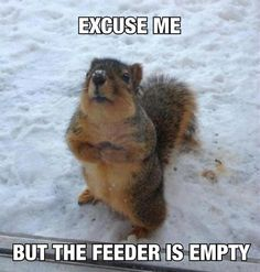 I know this all too well! We have some of these little darlings who live in the large redwood behind our house; I adore them. Unsalted peanuts in their shell are their absolute favourite. :)
