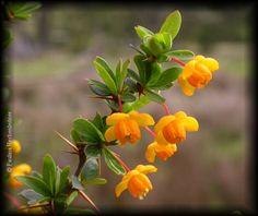 Foro de InfoJardín - Plantas y flores curiosas              berberis montana gay