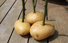 Taking rose cuttings an easy to follow guide, we also show you how to grow your roses in potatoes.