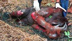 Napi 6-12 orángután pusztul el a pálmaolaj miatt   Hírek   Greenfo - Zöld iránytű a neten