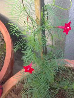 Plants Growing In My Potted Garden.: How To Grow And Care For Cypress Vine/Hummingbird Vine In Pots Or Containers.
