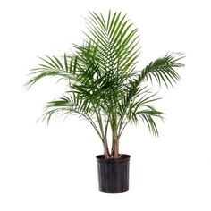 Grown by United Nursery, everything about the Majesty Palm rings tropical from its rich green color to its upward arching fronds. This easy care indoor palm makes an excellent focal point or backdrop Palm Tree Plant, Fern Plant, Trees To Plant, Fruit Trees, Zz Plant, Indoor Flowering Plants, Outdoor Plants, Palm Plants, Indoor Outdoor