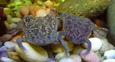 Xenopus laevis (African clawed frogs) -Did researchers help the frogs spread the devastating chytrid fungus?