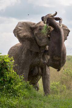 Elefanta ataca a un búfalo.☆☆