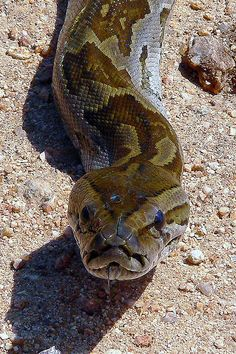African Rock Python (Python sebae)-- The mythical creature, Bida, in the Soninke epic Gassire's Lute  is based on.  Very vicious python known to attack people.