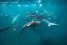 swarm of sharks Shark Photos, Vertebrates, Marine Life, Sharks, Whale, Nature Photography, Boat, Animals, Sweetie Belle
