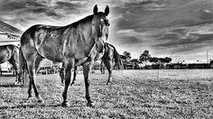 ©2016 Glauco Máximo  #light #memory #horse #horses #cavalo #vaquejada #monochrome #bw #bnw #clubedocavalonacional #blacknwhite #abqm #blackandwhite #euapoioavaquejada  #portalvaquejada #vaquejadalegal #medvet #photography #photo #fotojornalismo #art #animal #portrait #brasilia #brasília #bsb #df #brasil #brazil