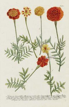Johann Weinmann's Phytanthoza Iconographia 1737, Nr.963, Tagetes Caryophillus Mexicanus