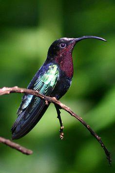 Purple-Throated Carib - Eulampis jugularis - Found on Antigua, Dominica, Guadaloupe, Martinique, Monserrat, Saba, Saint Kitts, Nevis, Saint Lucia, Saint Vincent and Saint Eustatius, this species of hummingbird is of the family Trochilidae