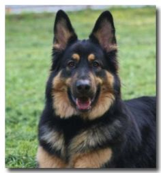 German shepherd black and red...