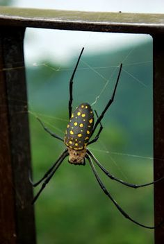 Spider with yellow dots, just hanging out.