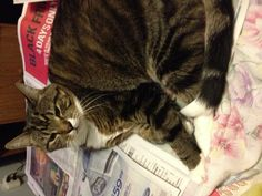 Newspaper reading cat or cat reading newspaper??? All I know is that I was not reading it!!! Can you guess why? Cat Reading, Canning, Cats, Animals, Gatos, Animais, Animales, Animaux, Animal