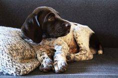 Gus the GSP Photo by amy.herbs, via Flickr